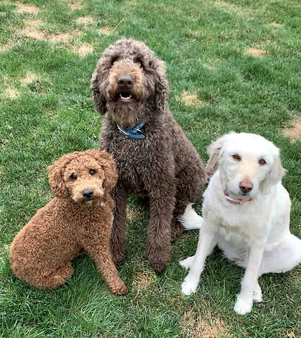 Snapshot of three dogs looking at the camera. The one on the left is small and light brown with curly hair. The one in the middle is medium-sized with dark brown curly hair and a blue collar. The on on the right is small-to-medium sized and white with a pink collar.